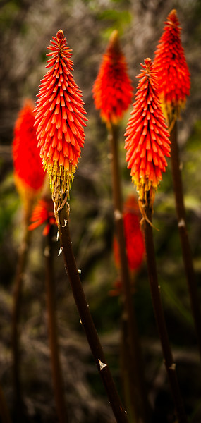 Red Hot Pokers, Año Nuevo State Park, California, 2010