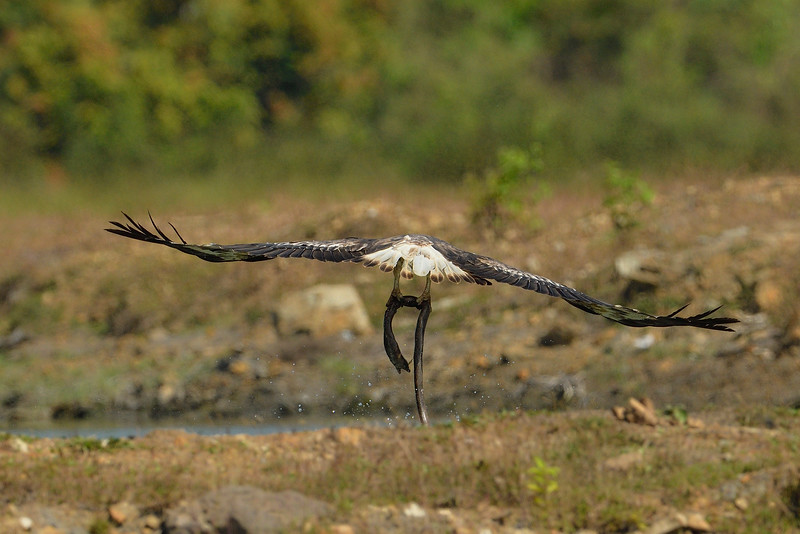 White-belied-sea-eagle-with-eel-catch-andaman-4.jpg