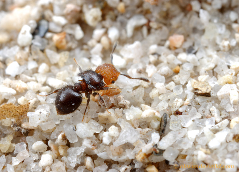 Meranoplus sp. shield ant.  Cape York Peninsula, Queensland, Australia
