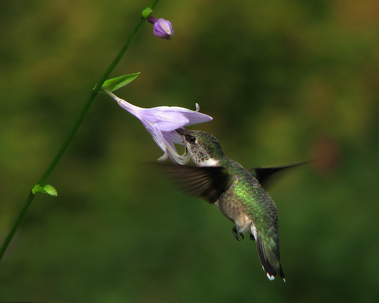 hummingbird_1263.jpg