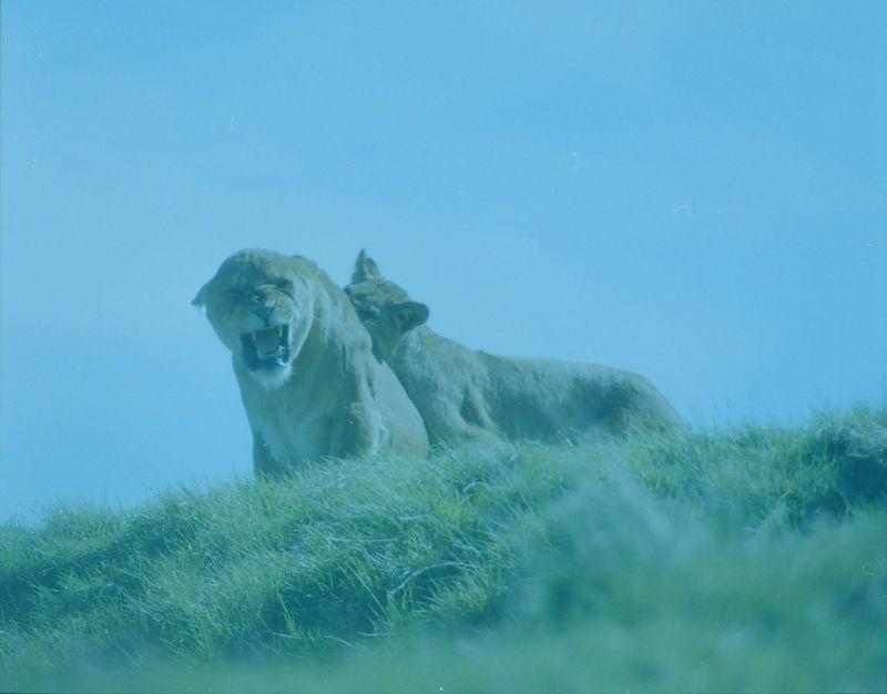 blue lion.jpg