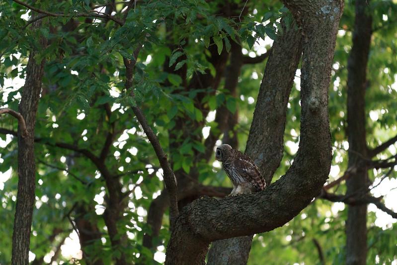 2011_07_26 Owls 002.jpg