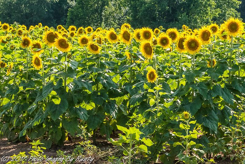 Sun Flowers-15.JPG