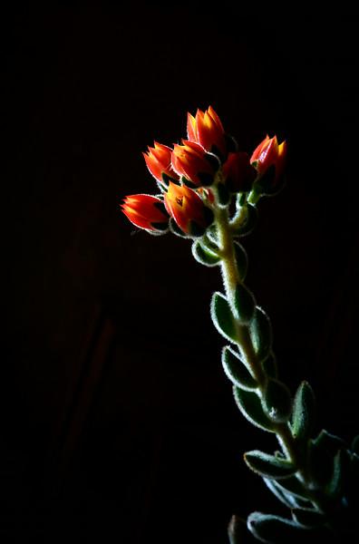 succulent flowers-5635.jpg