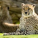 Cheetah_20070429_051 as Smart Object-1.jpg