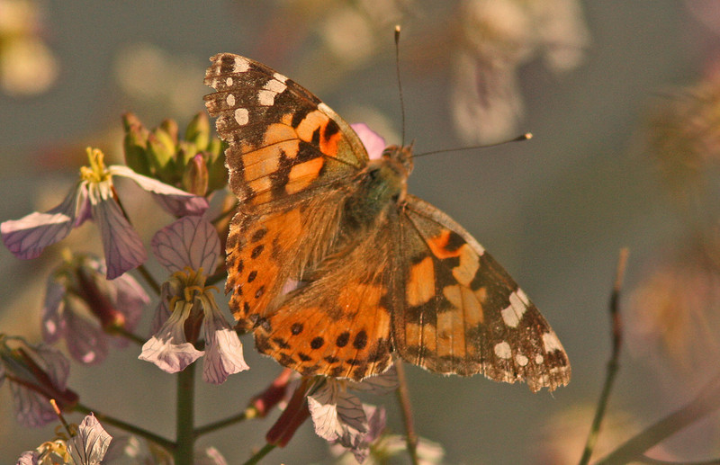 WB~Butterfly Painted Lady Las Gallinas1280.jpg