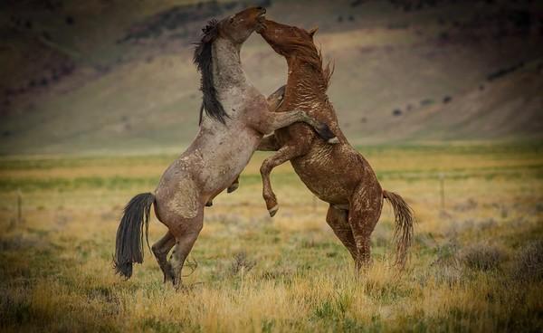 Wild Mustangs-Gallery #1