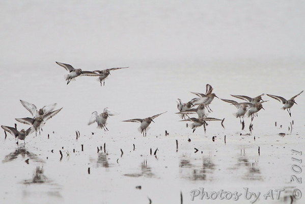 Birding 2011 November