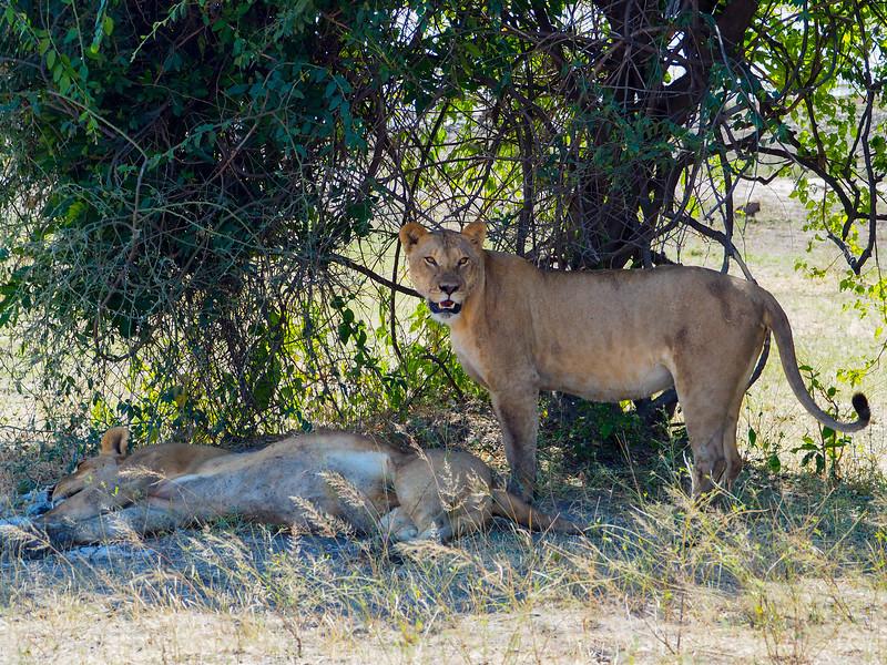 Lions in Chobe National Park in Botswana