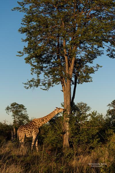 Southern Giraffe, Khwai River Concession, Botswana, May 2017-1.jpg