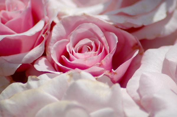 pink_rose_by_victorg6546.jpg