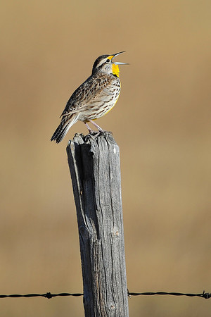 Meadowlark, Hawk