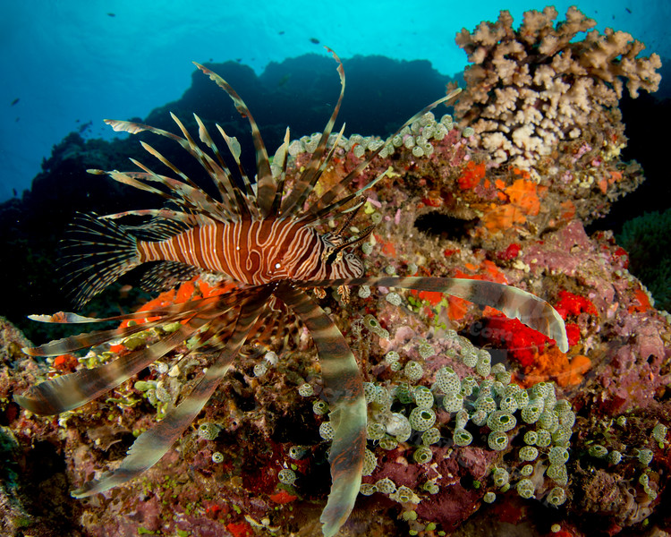 lionfish-2.jpg