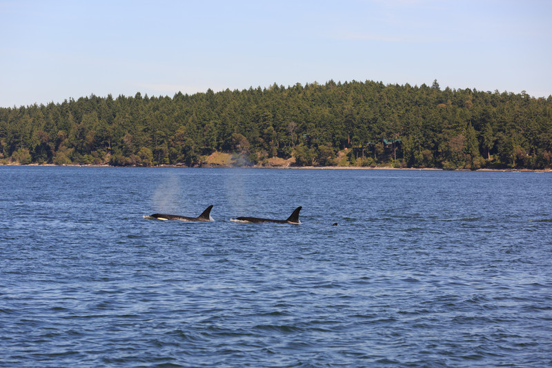 2013_06_04 Orcas Whale Watching 417.jpg