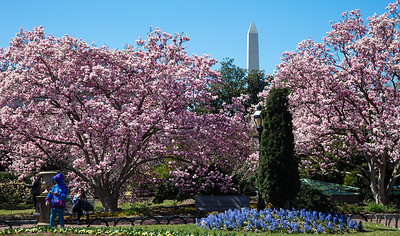 Magnolias in Full Bloom at the Smithsonian Enid A. Haupt Garden