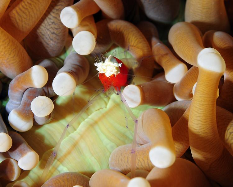 Popcorn Shrimp, Sulawesi