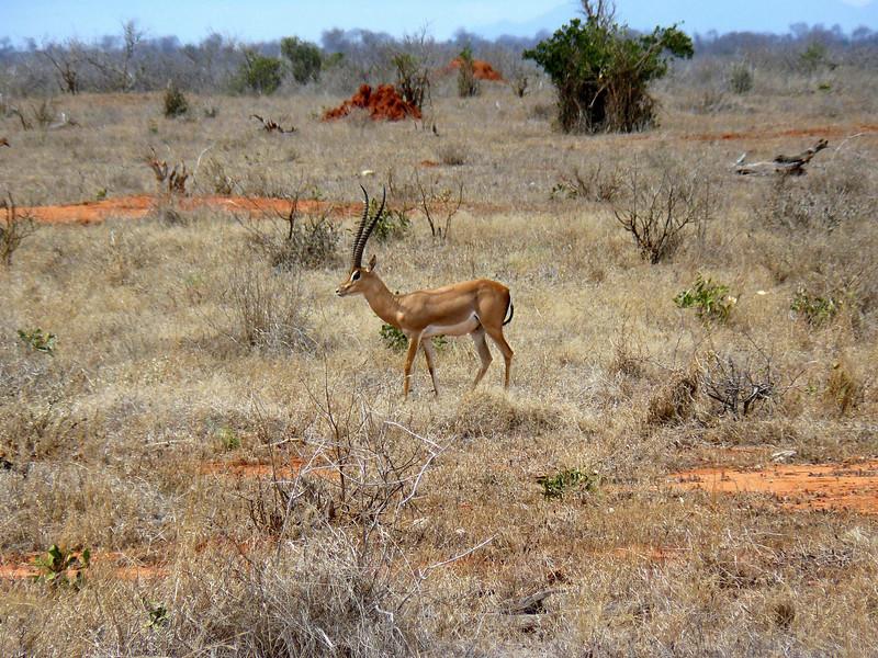 Gazelle Tsavo East.jpg