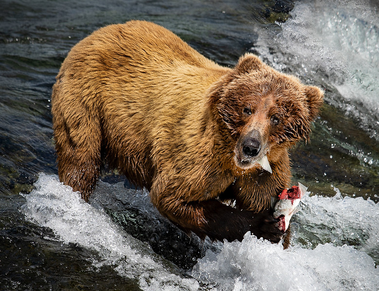 6 Bear Eating salmon _ Digital - Fauna _ Annual 18 ColtonDSC00754.jpg