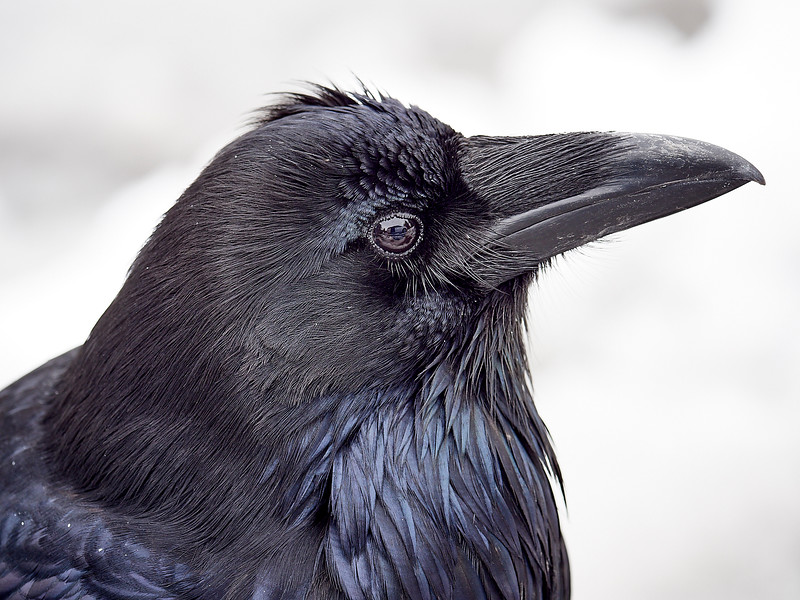 Raven by the car