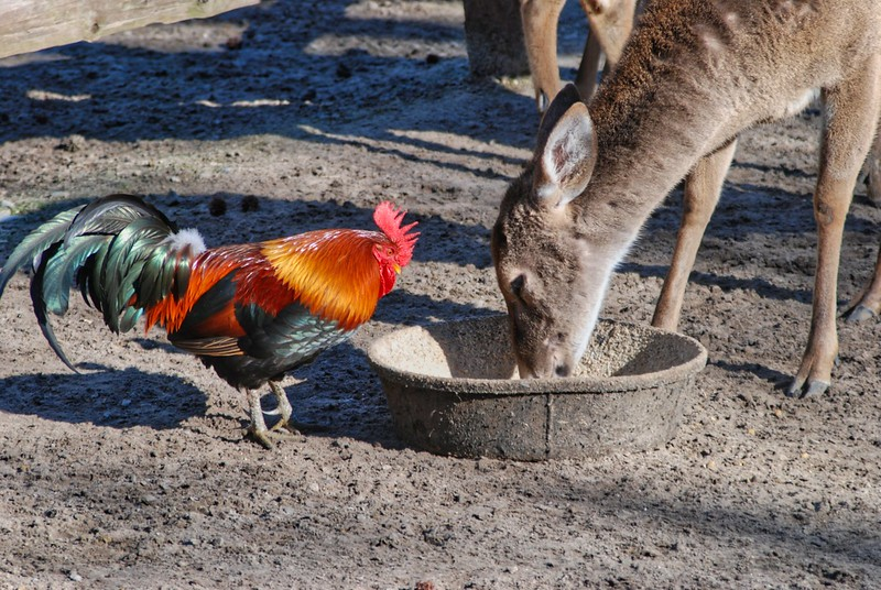 A rooster and a deer share a feeding tray