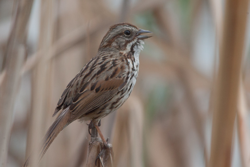 Song Sparrow - Palo Alto, CA, USA