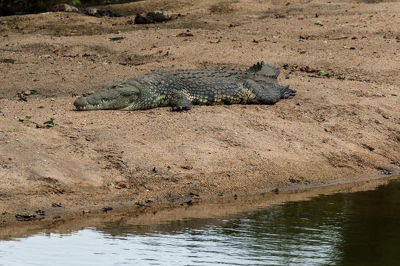 Crocodile 1702270526.jpg