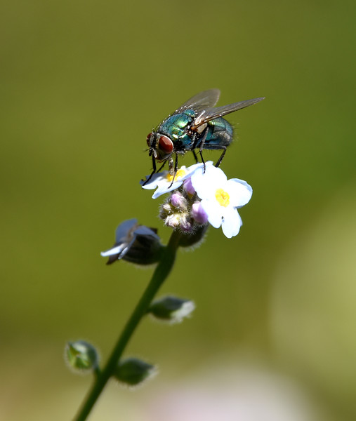 Fly-forget-me-not4-rjduff.jpg