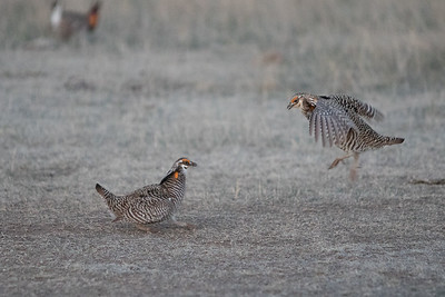 Prairie Chickens Dance