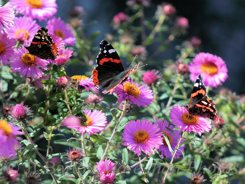 Asters with Butterflies