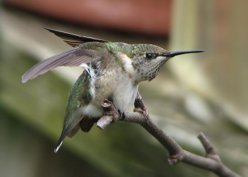 hummingbird_1019.jpg