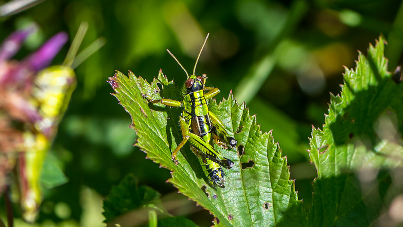 Green Mountain Grasshopper