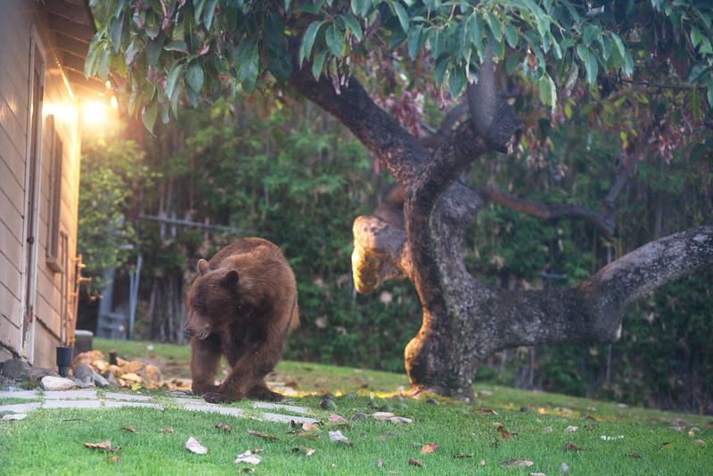 The bear arrives