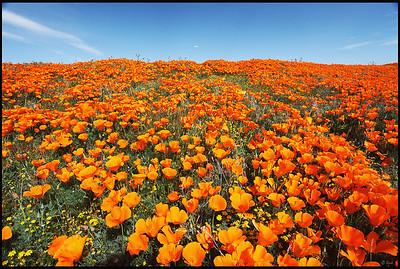 Spring Wildflowers in Antelope Valley