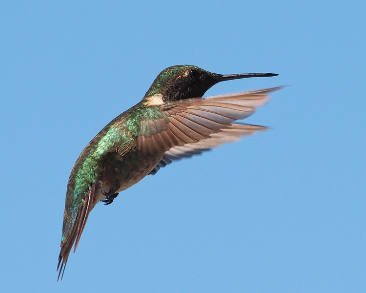 Ruby-throated Hummingbird ♂︎