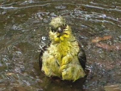 Shy Finch Bathes Alone