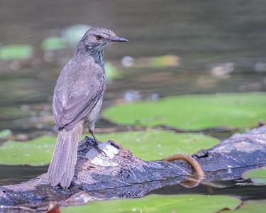 Swamp Warbler
