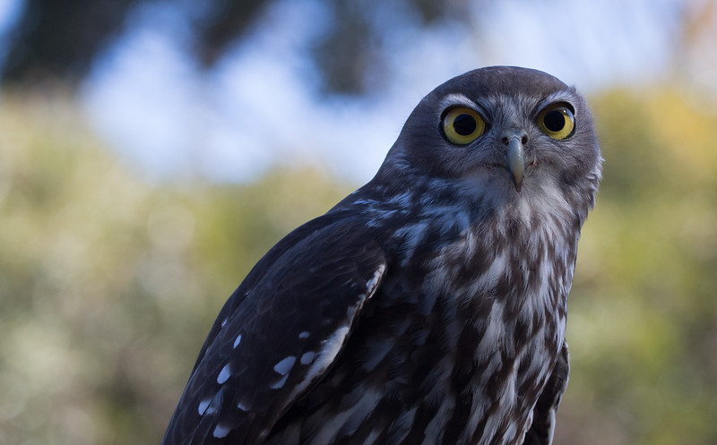 Barking owl, Beerwah, Queensland