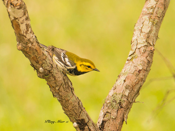 Black-throated Green Warbler_DWL3234.jpg