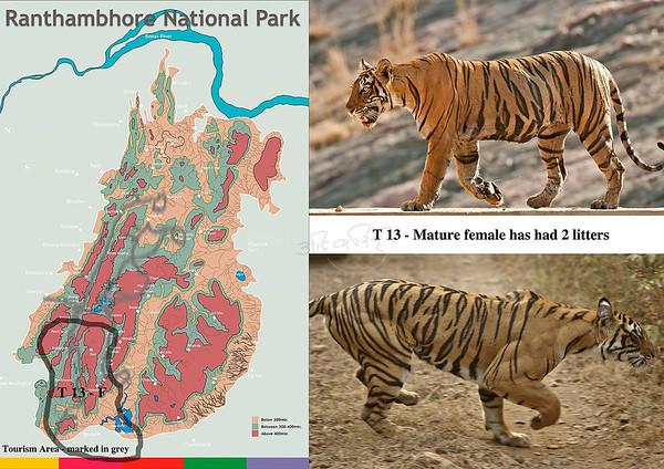 T 13 Ranthambhore tiger