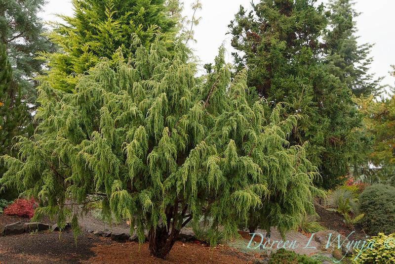 Juniperus pingii_839.jpg