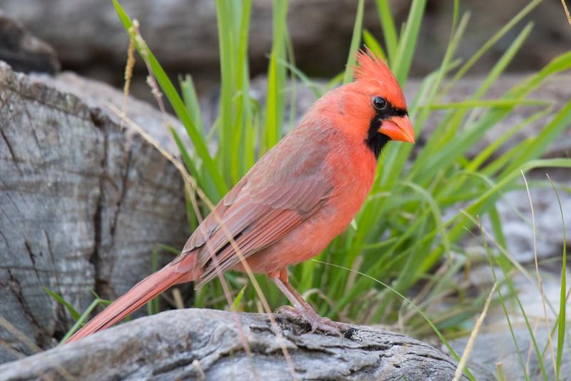 Northern Cardinal Aransas TX 2020-4.jpg