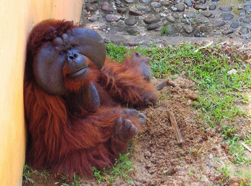 Orang Utan, Borneo.jpg