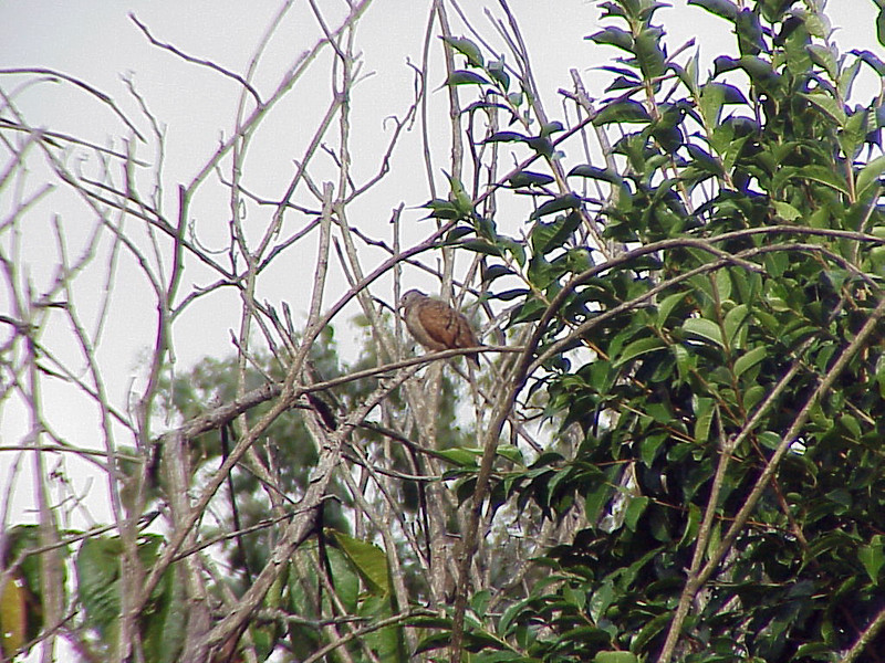 Ruddy Ground-Dove at Talari Mountain Lodge Costa Rica 2-15-03 (50898245)
