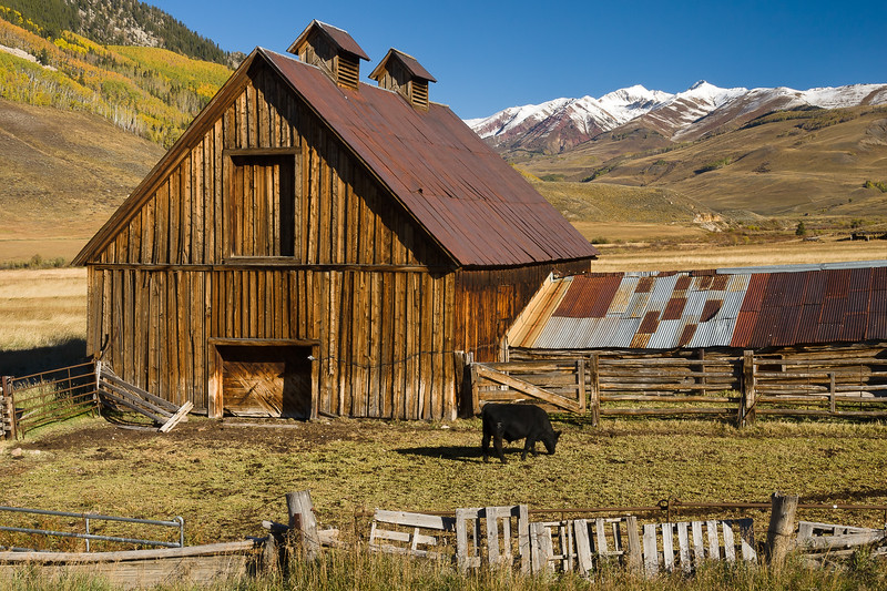 Old Barn and Cow