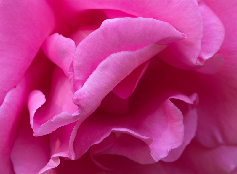 Pink Rose in afternoon light.