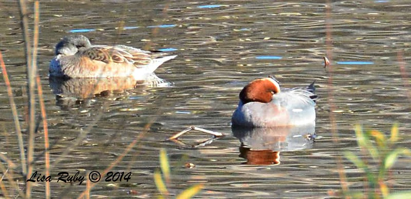 Eurasian Wigeon - 1/2/2015 - Lake Hodges, southeast trail (south of footbridge)