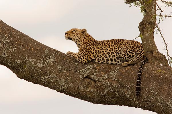 Leopard -נמרים