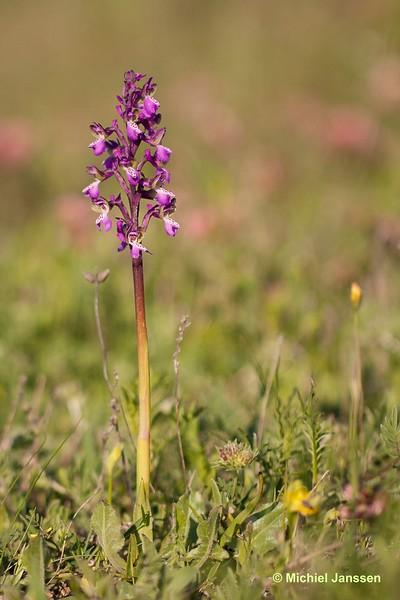 Anacamptis morio subsp. picta - Slanke harlekijn - Green-winged orchid