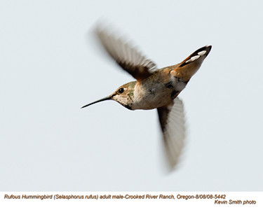 RufousHummingbirdM5442.jpg