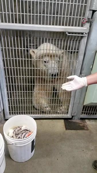 Alaska Zoo 8-6-19 Polar Bears